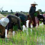 Gạo Việt lại ngậm ngùi thua trận, thua cả gạo Campuchia