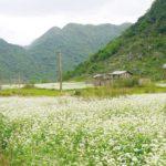 Mùa hoa tam giác mạch ở thung lũng Lân Khoản