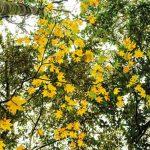 Xuyên rừng Bidoup ngắm cây lá phong