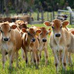 Chuyện con bò của người nghèo và bài học về sự kiên trì