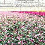 """Bí quyết giúp """"tân binh"""" Pan-Saladbowl đưa hoa sang Nhật thành công"""
